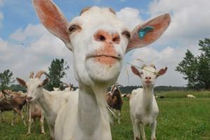 goats large